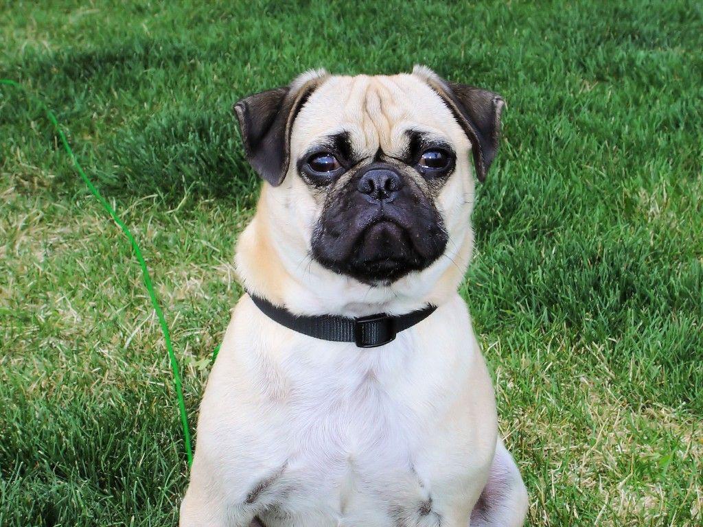 Pug Dog Images Free Download Pug Dog Dog Images Hd Pug Dog Images