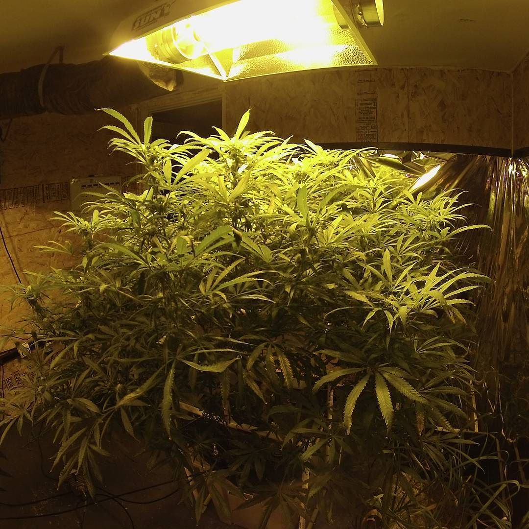 #bluedream 12 weeks old 3 weeks into #flower #cannabis #cleanmeds #weedstagram #aeroponic #aeroponics #hydroponics #organic by aeroponics_