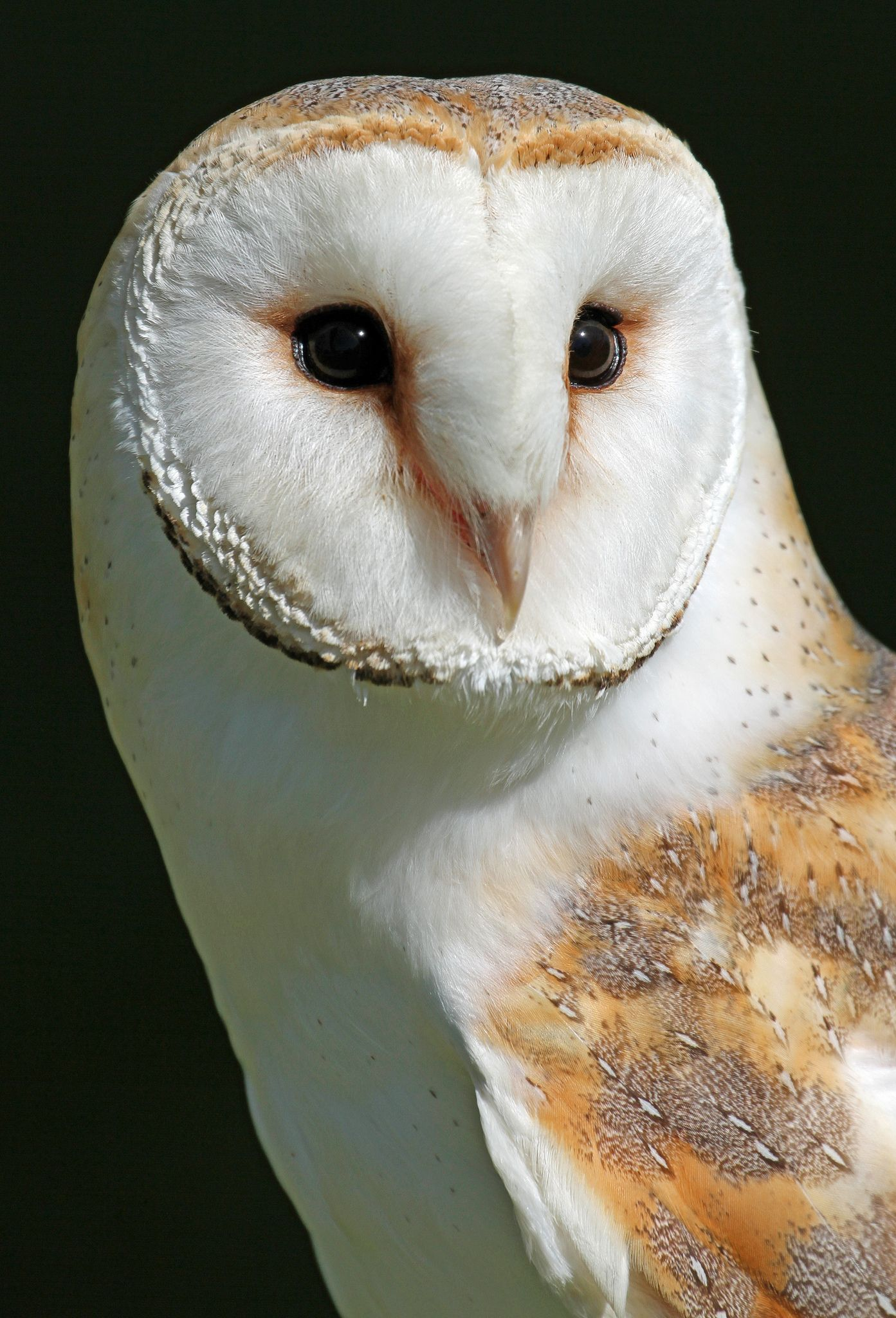 Barn Owl Effraie des clochers, Chouette effraie, Animaux