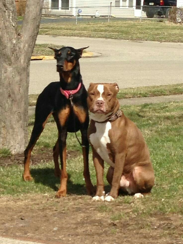 Pin By Todd Armstrong On My Board Doberman Beautiful Dogs