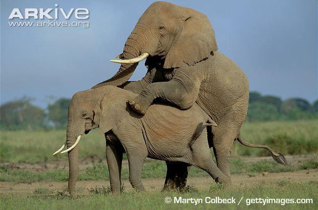 Google Image Result for http://cdn1.arkive.org/media/56/563D57E1-485E-4837-B2E1-307CE5D293C4/Presentation.Large/African-elephants-mating.jpg