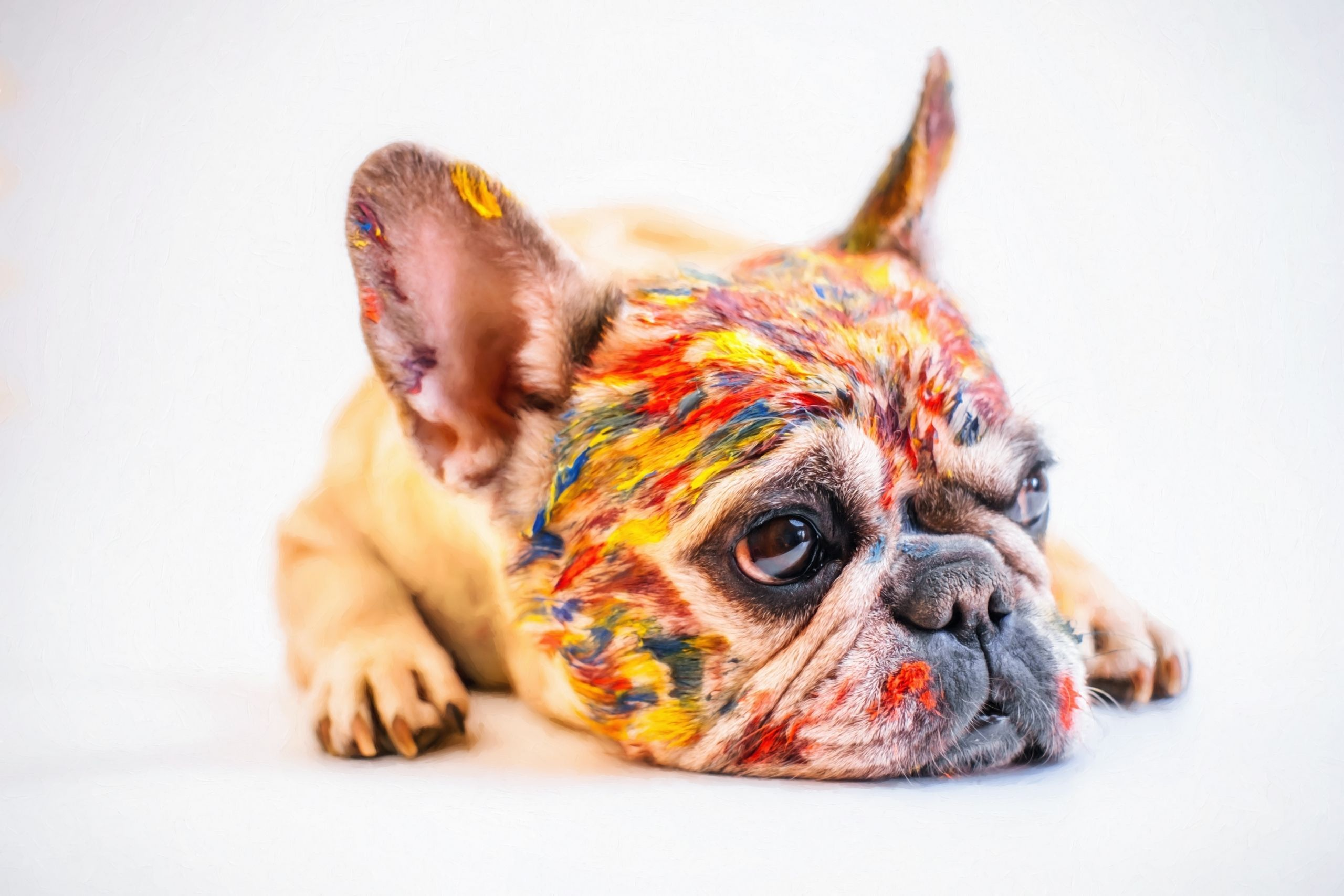Colored French Bulldog French Bulldog Dog Bulldog Basic Dog