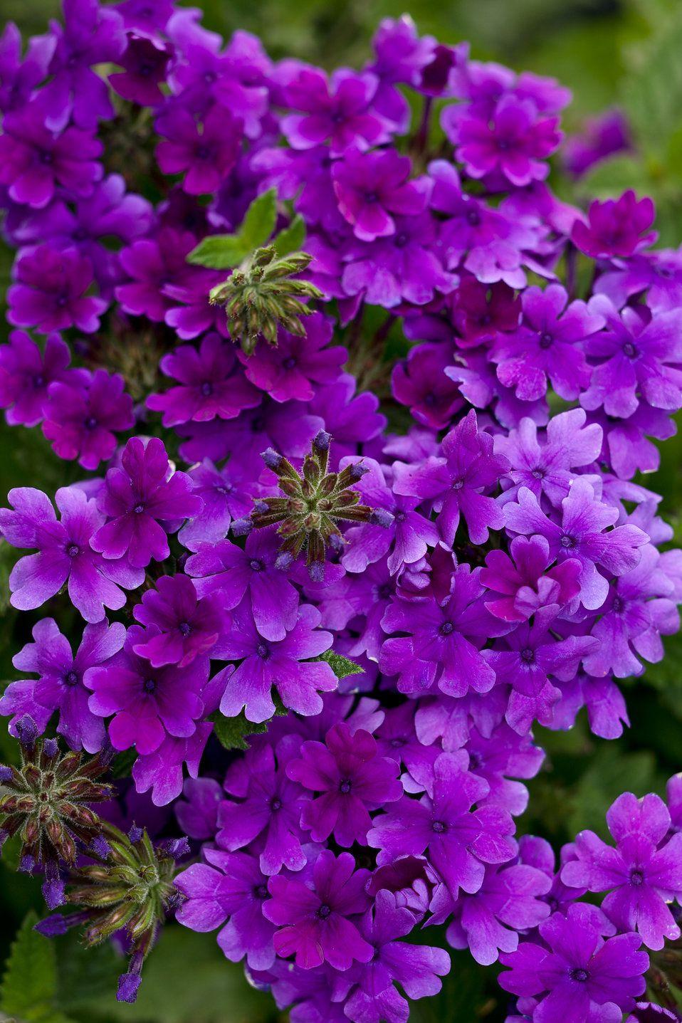 Superbena Dark Blue Verbena Hybrid Flower Garden Plans Purple Plants Beautiful Flowers Garden