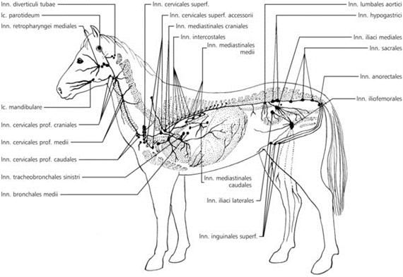 Diagram Of Horse Lymph Nodes Diy Enthusiasts Wiring Diagrams