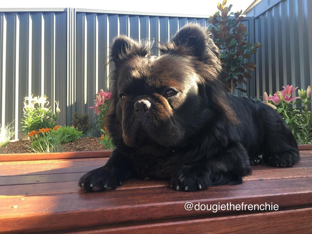 Long Haired French Bulldog