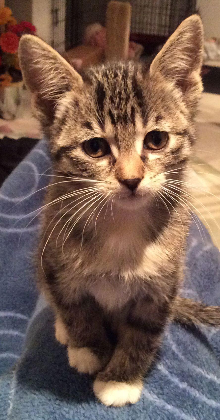 Mittens Kitten Kittens Foster Kittens Kitten