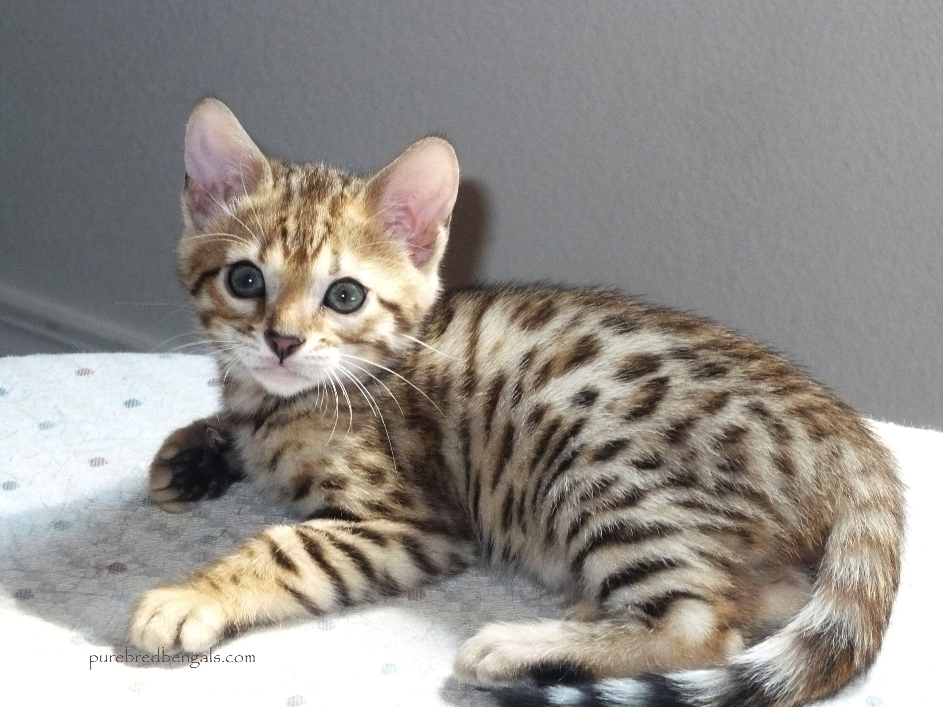 Healthy Bengal Kittens for sale BENGAL CATS Pinterest