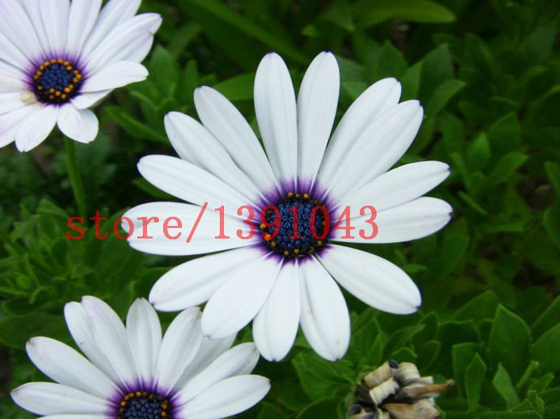 100 daisy seeds Osteospermum Seeds 4 color mix send Potted Flowering Plants Blue Daisy Flower Seeds for DIY Home & Garden