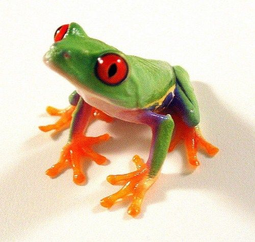 Red Eyed Tree Frog Body Red Eyed Tree Frog 10 Interesting Red Eyed - frog body
