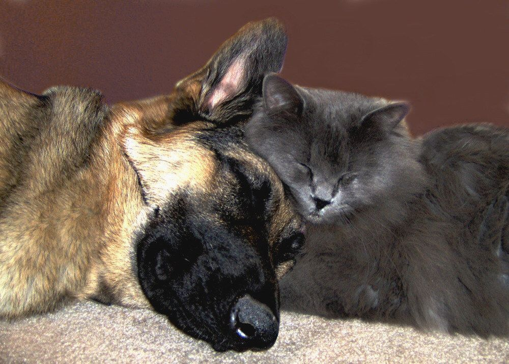 Dog Cat Photography German Shepherd,Gifts under 25,friend,buddy,cuddle,gray,kitten,sleeping dog and cat,adorable pair,cat snuggling with dog by VanillaExtinction on Etsy https://www.etsy.com/listing/76661158/dog-cat-photography-german-shepherdgifts