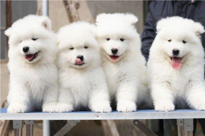 Samoyed Puppy Puppies