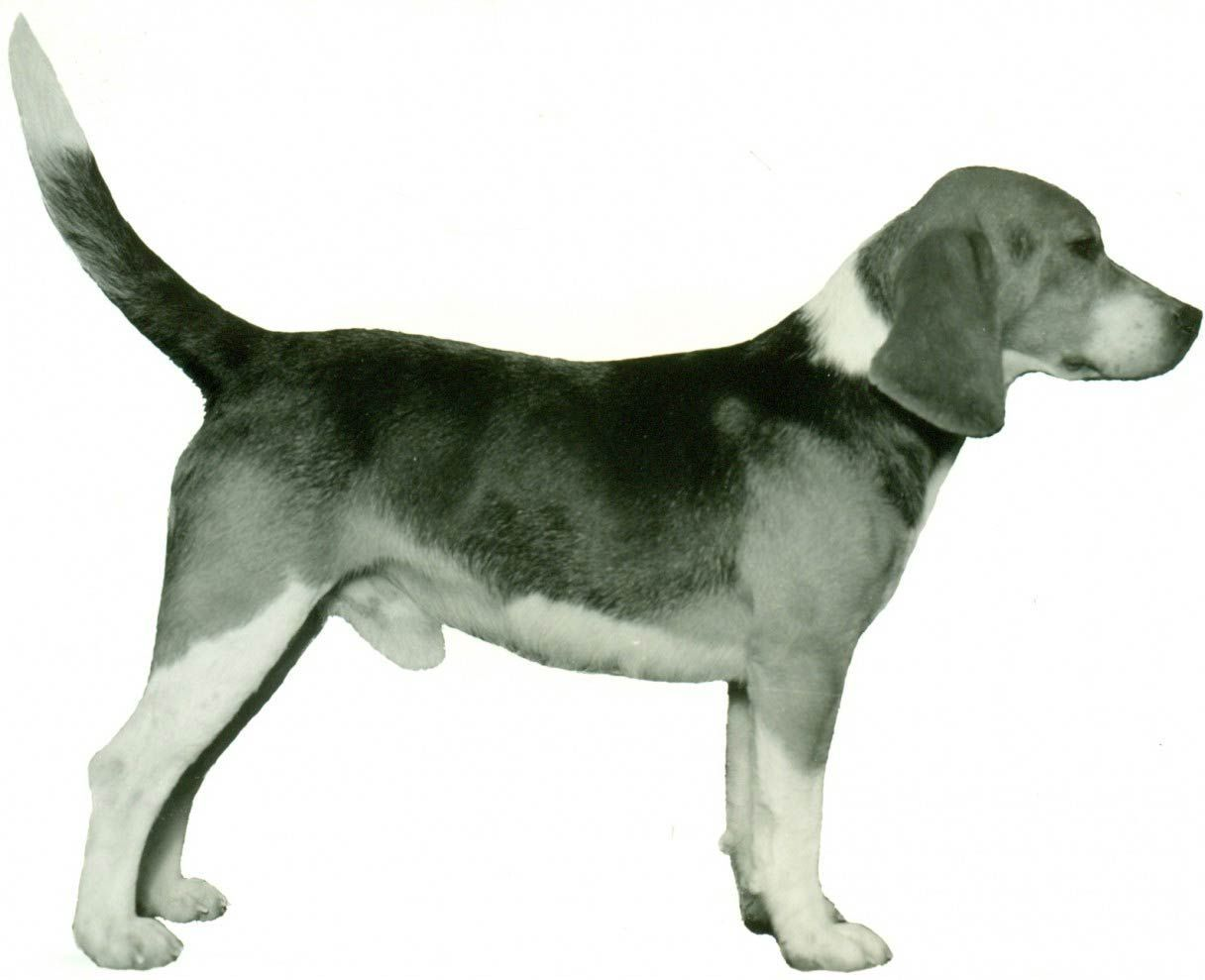 Beagle Facts Including History Training Temperament And Breed