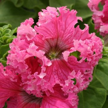 "Petunia 'Frillytunia Rose' - Super frilly blooms that measure 3 inches across. Grows 10-12""."