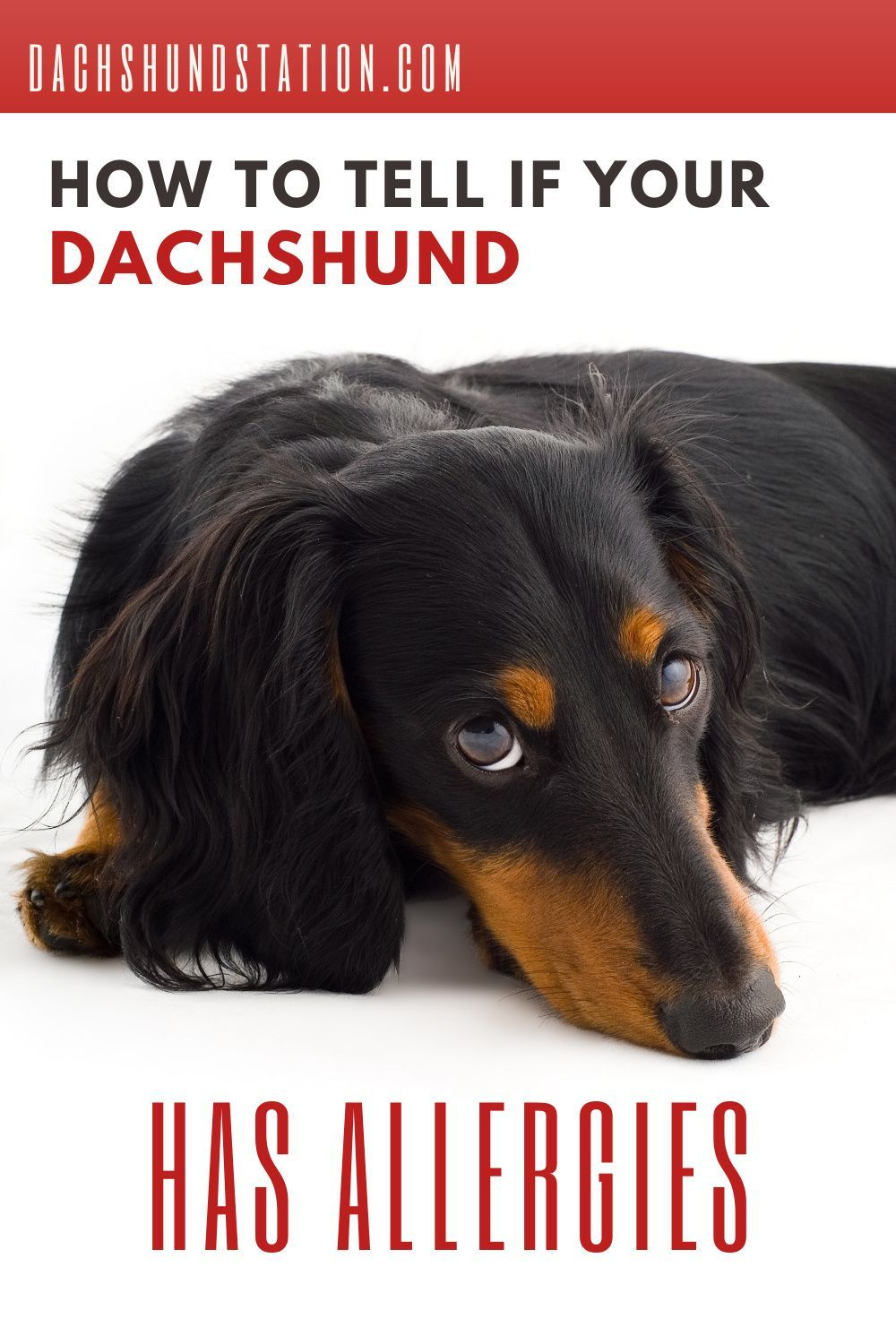 Itchy Dachshund Allergies 3 Solutions That Can Help Dachshund Station In 2020 Big Dog Little Dog Dog Allergies Wild Animals Pictures
