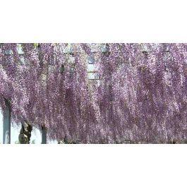 Wisteria floribunda Saatgut, Japanischer Blauregen
