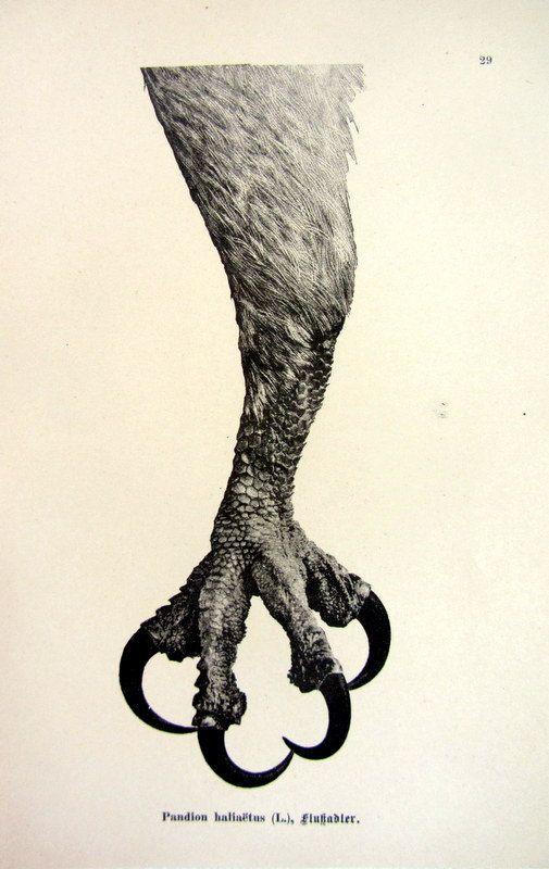 1903 Antique sharp claw of Osprey print by LyraNebulaPrints, $19.50