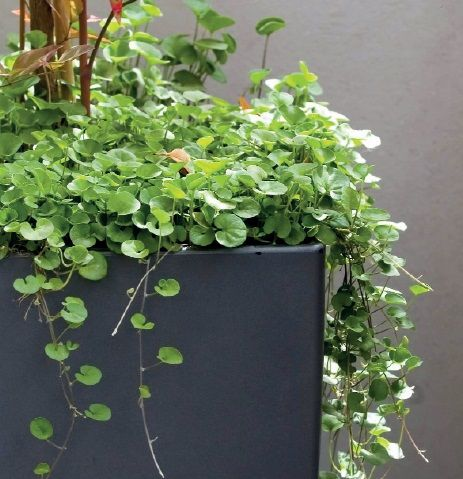 Dichondra Versatile And Attractive Trailing Ground Cover