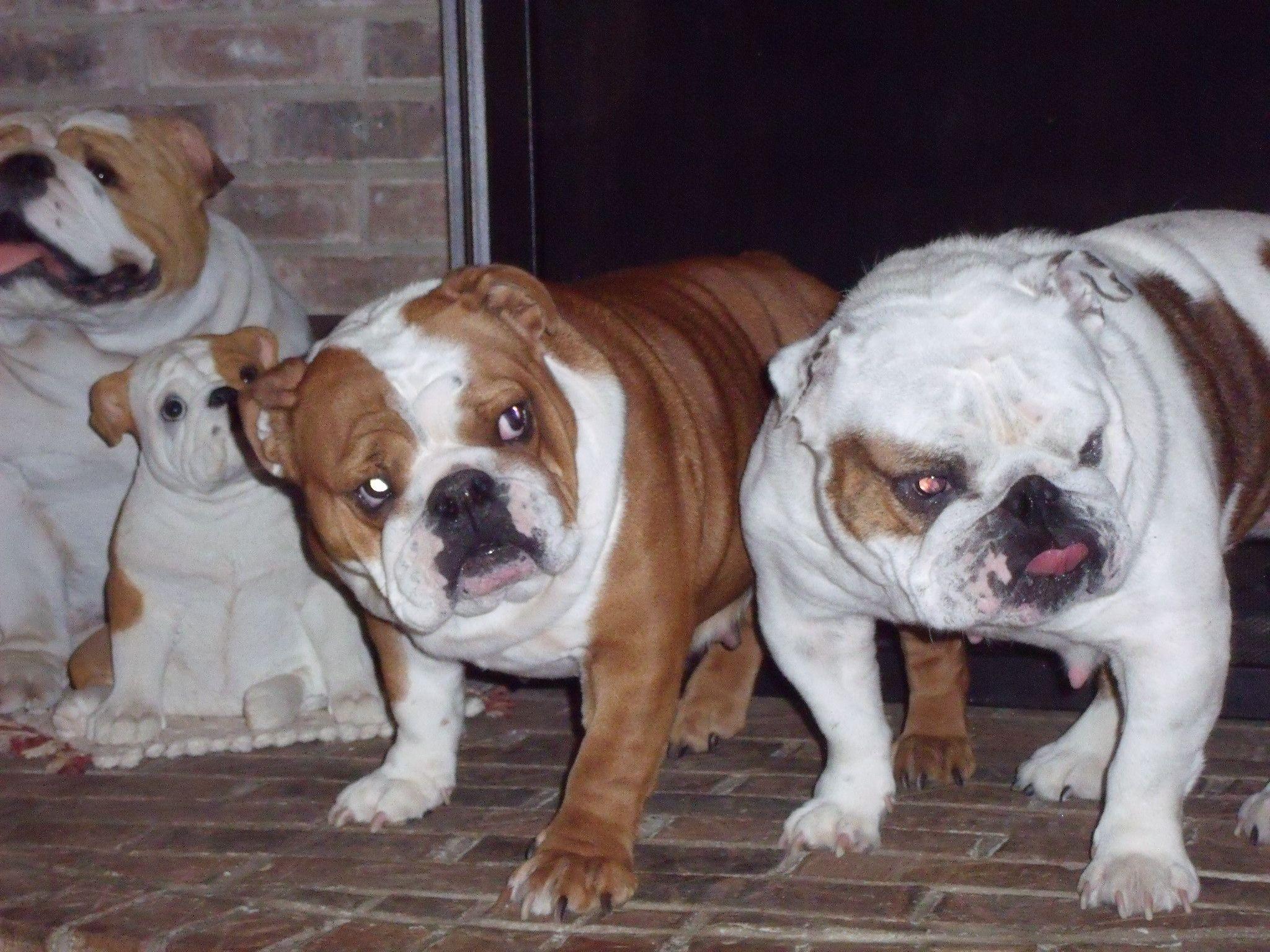 Bulldog Puppies For Sale Akc Puppyfinder Akc Marketplace
