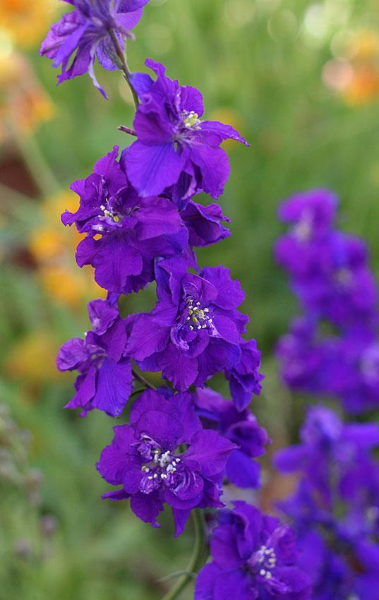 Consolida Ajacis Giant Imperial Dark Blue Larkspur Buy Online At Annie S Annuals Larkspur Flower Plants Larkspur