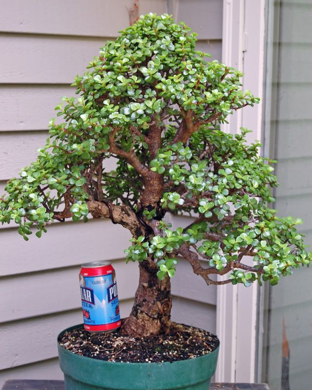 portulacaria afra 39 bonsai 39 cacti succulents forum gardenweb bonsa pinterest bonsa. Black Bedroom Furniture Sets. Home Design Ideas