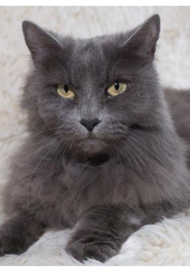 Adopt Jasper On Ragamuffin Cat Cute Cats Crazy Cats
