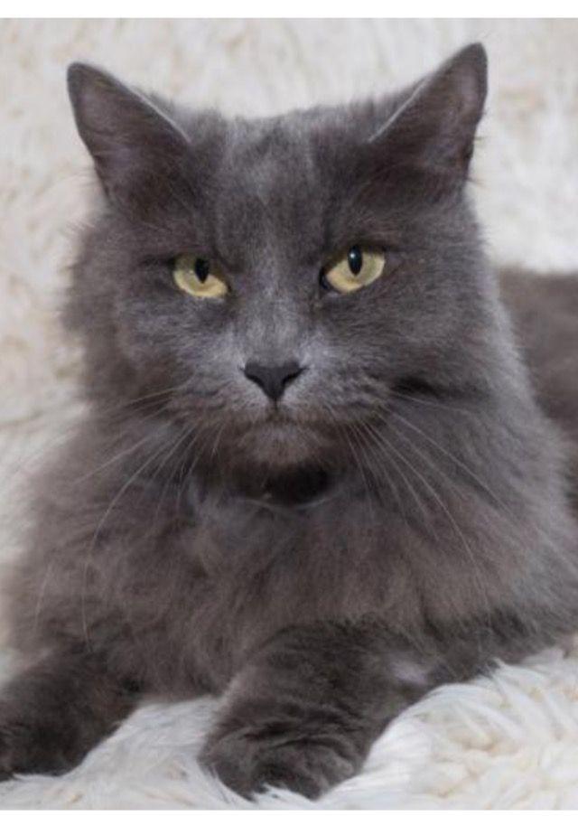 Russian blue cat mix