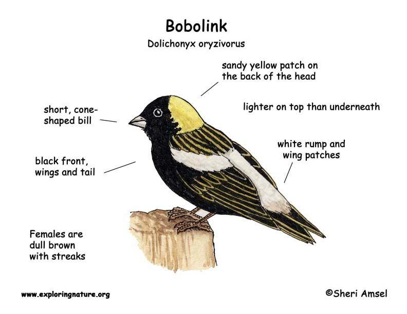 Bobolink Exploring Nature Educational Resource Backyard Birds Bird Drawings Explore Nature