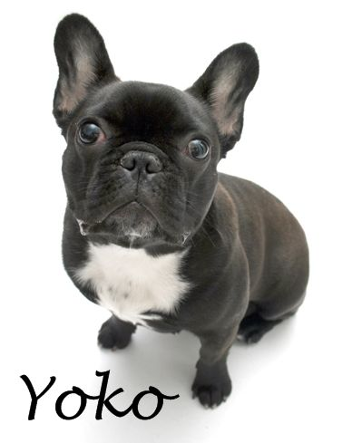 Bluegrass Frenchies Of Richmond Ky French Bulldog Puppy French