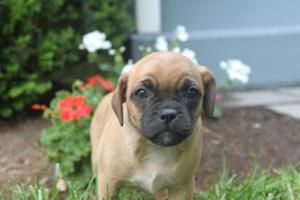 Pin by on Jug Puppies For Sale in Atglan Pa