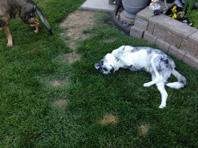 How Buddy the Obese Australian Shepherd Lost a Remarkable ...