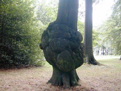 Die Krebsknolle, Maserknolle oder einfach nur Wucherung kann man an den verschiedensten Baumarten beobachten.