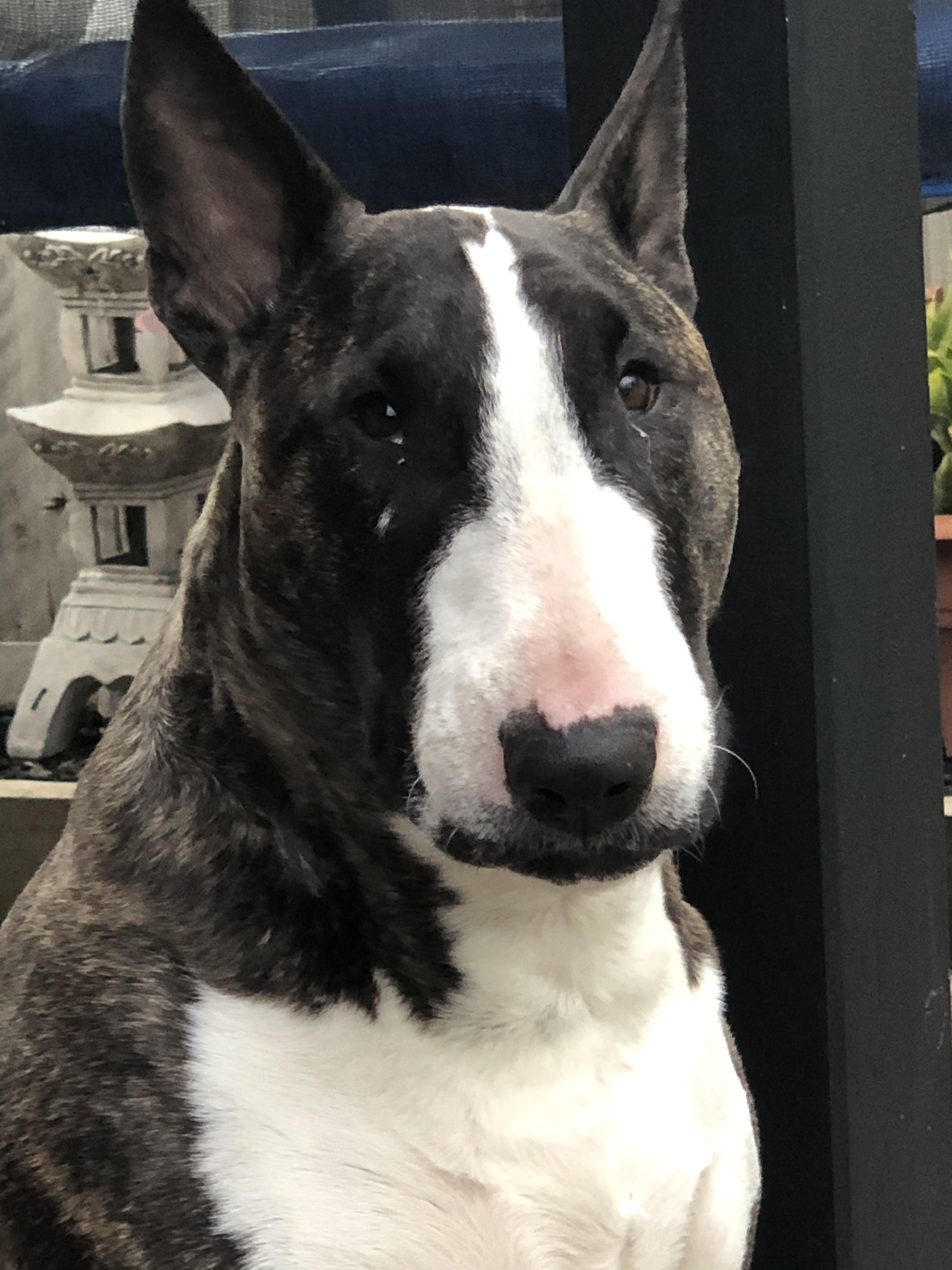 Precious In 2020 English Bull Terriers Bull Terrier Terrier
