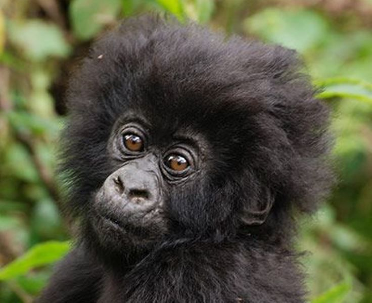 Man Helps Raise Two Gorillas Then Decides To Introduce His