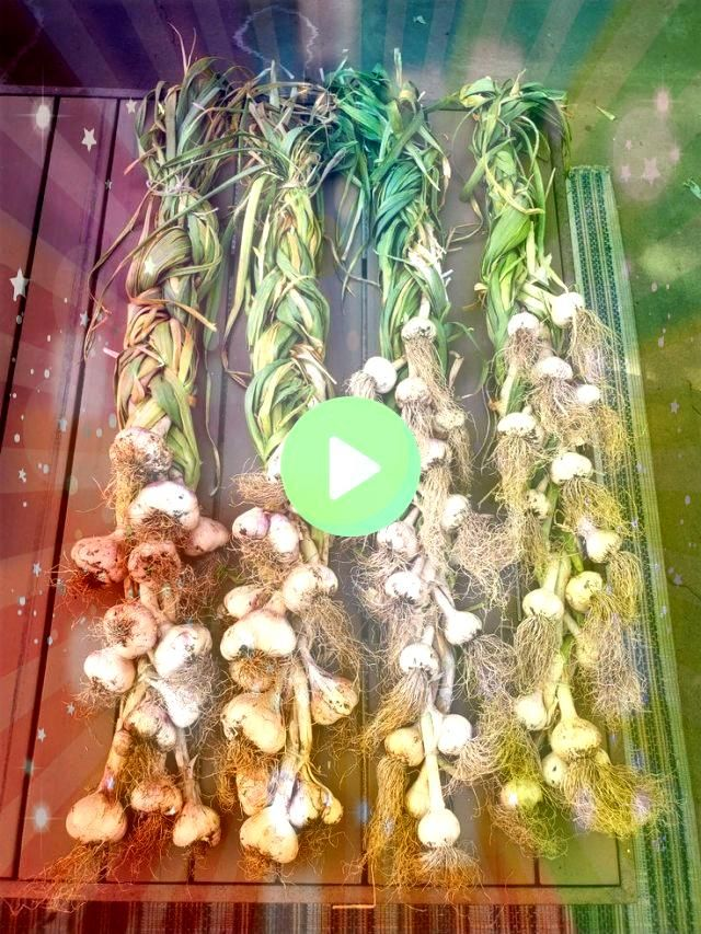 to Grow Garlic Seeds Varieties Harvest Curing  How to Grow Garlic Seeds Varieties Harvest Curing How to Grow Garlic Seeds Varieties Harvest Curing If youre growing Roma T...
