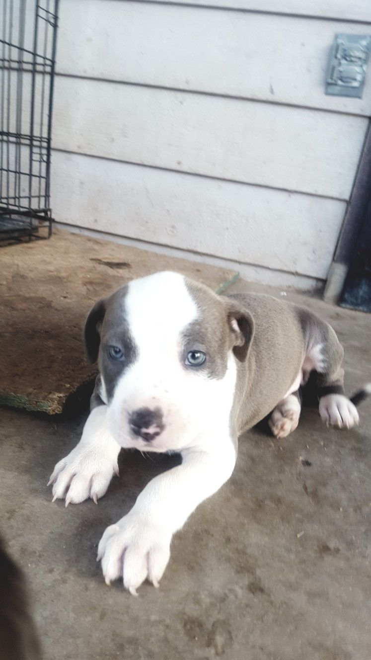 5 Weeks Old Female Puppy Blue Nose Pitbulls Puppies