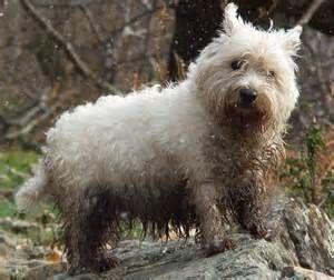 westies cairn terrier | Flickr - Photo Sharing!