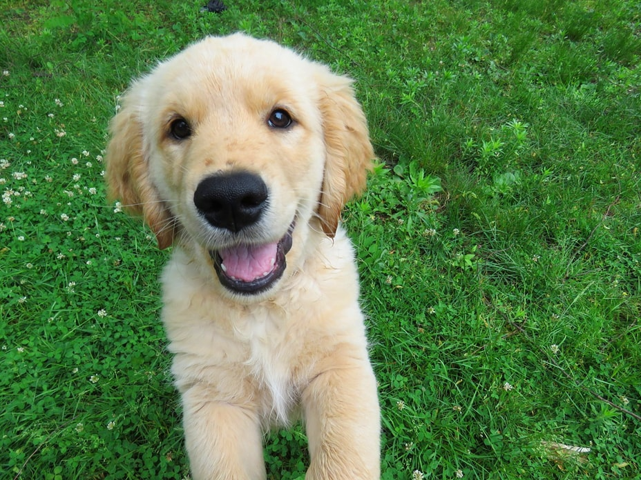 Purebred Golden Retrievers Or Any Other Dogs For That Matter Cost A Handsome Penny Find Here Factors You W In 2020 Retriever Puppy Golden Retriever Puppies For Sale