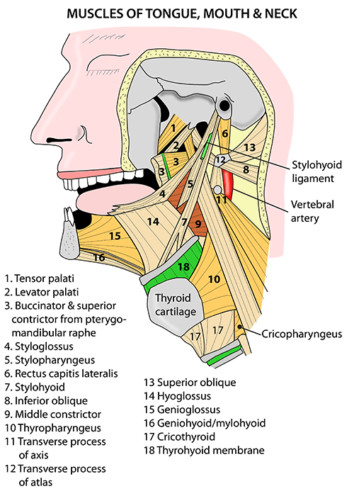 Instant Anatomy Head And Neck Areasorgans Mouth Muscles