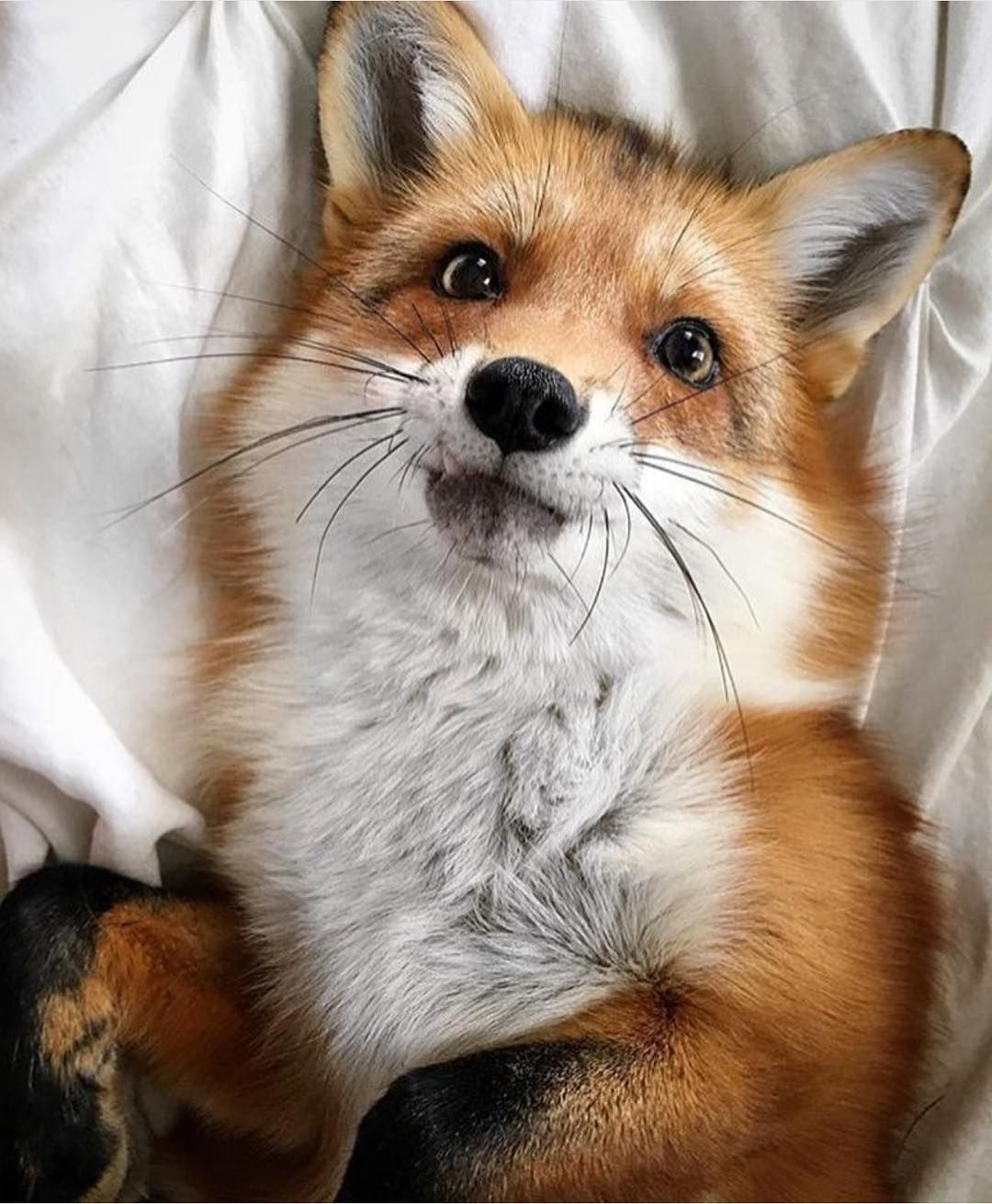 Juniper the Red Fox by juniperfoxx on Instagram Cute animals