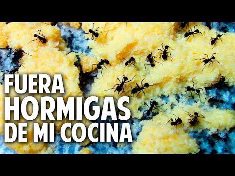 Hormigas En La Cocina | Como Eliminar Hormigas De La Cocina Aniquilamiento Organico