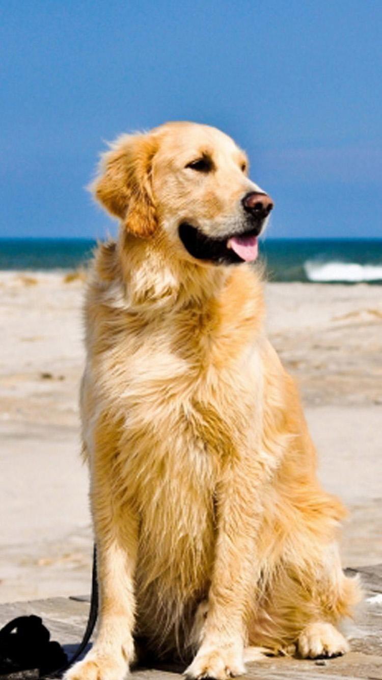 Golden Retriever Hd Wallpapers Backgrounds Wallpaper 750 1334 Golden Retriever Images Wall Golden Retriever Wallpaper Cute Dog Wallpaper Golden Retriever Beach