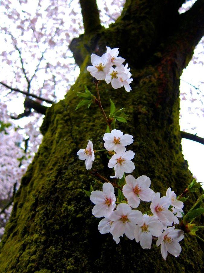 Sakura Beautiful Flowers Beautiful Nature Trees To Plant