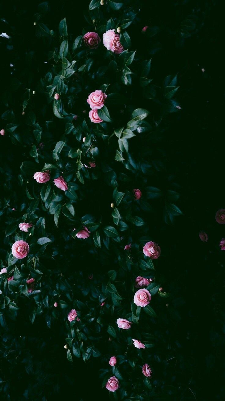 Iphone And Android Wallpapers Pink Roses Wallpaper For Iphone And Android Flower Phone Wallpaper Pink Rose Wallpaper For Iphone Rose Wallpaper Lock screen iphone wallpaper hd flowers