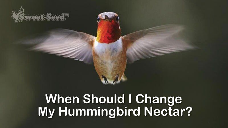 Does Hummingbird Nectar Go Bad Everything You Need To Know Hummingbird Hummingbird Nectar Hummingbird Food