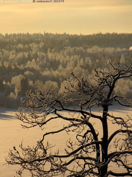 Käkkärämänty - puu mänty kuivunut käkkärämänty oksat kiemuraiset huurre kuura järvi Pyhäjärvi jää jäässä lumi jäljet vastaranta puut huurre kuura pakkanen kylmyys auringon valo varjot sävyt poutapäivä maisemapaikka joulukuu talvi