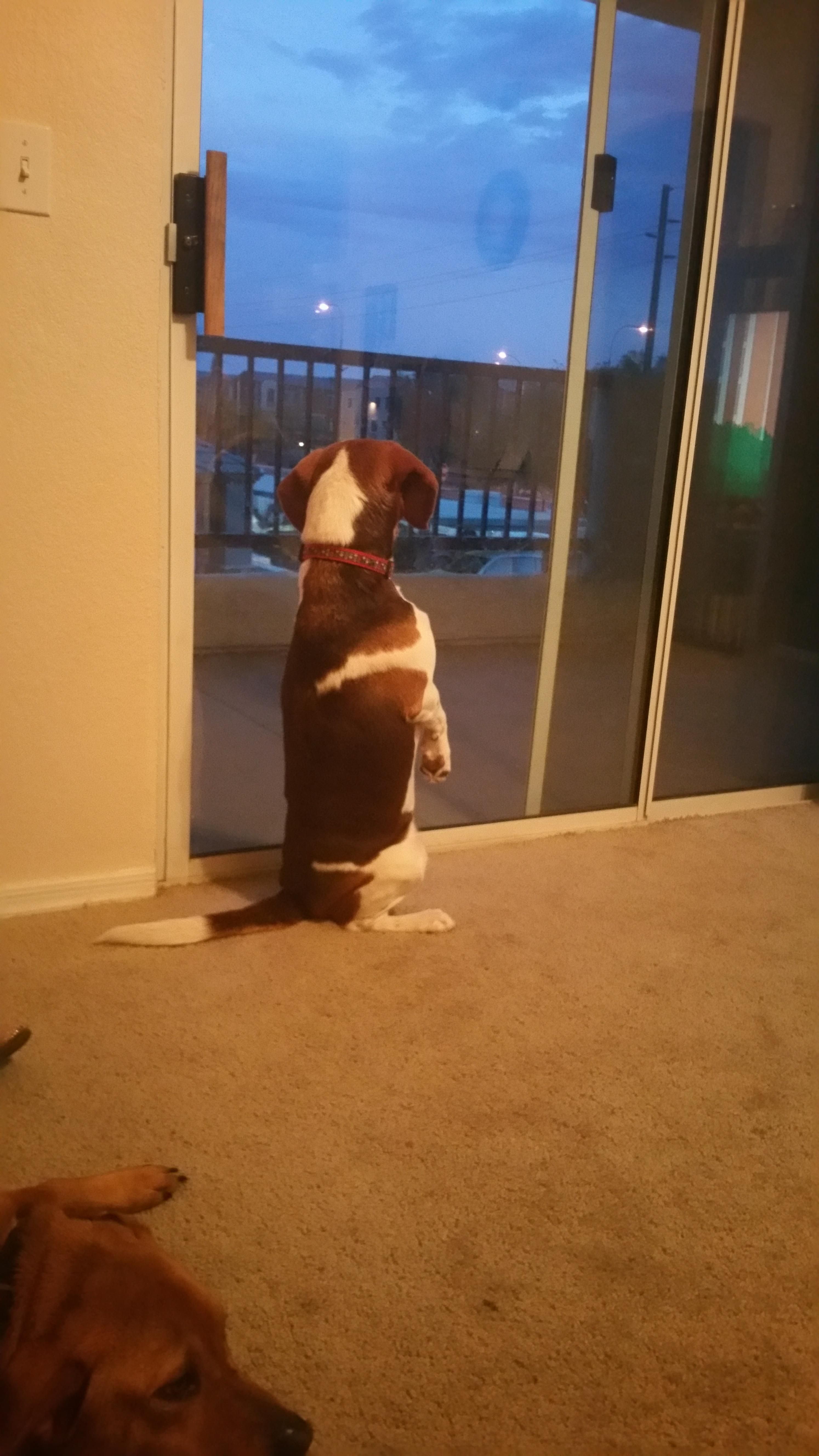 Does Your Beagle Sit Like This A Community Of Beagle Lovers