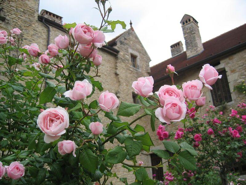 f129407d3e4cb rosier nahema   roses   Beautiful roses, Rose, Flowers