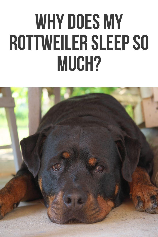 Why does my Rottweiler sleep so much? in 2020 Rottweiler