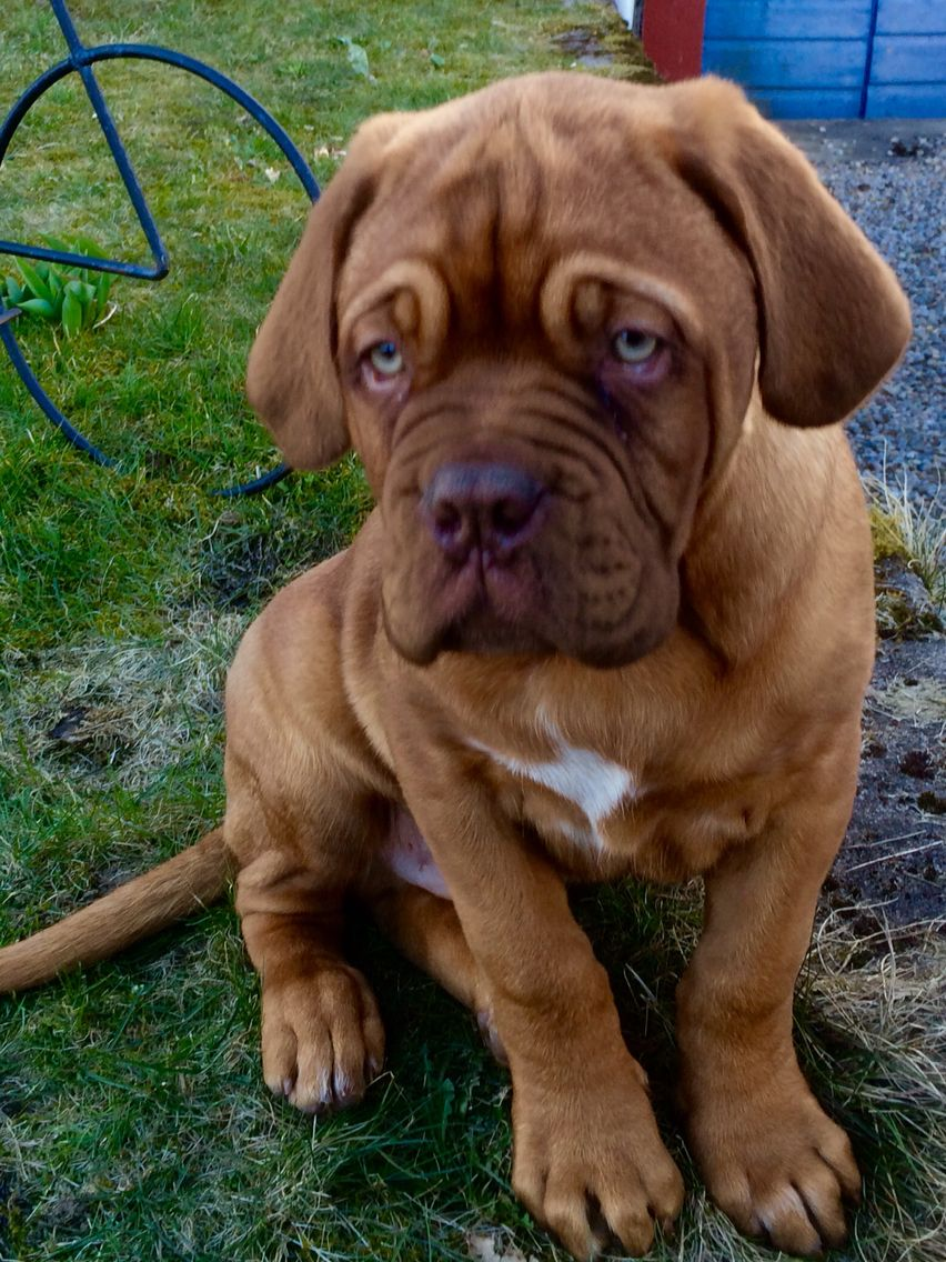 French Mastiff French Mastiff Dog Bordeaux Dog Mastiffs