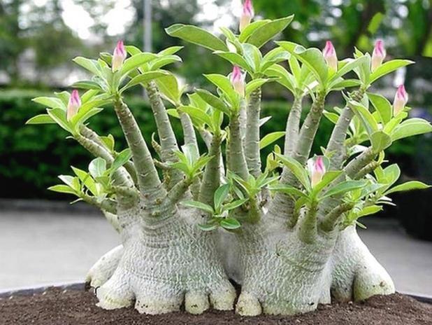 La rose du d sert une plante caudex l allure de for Grande plante grasse exterieur